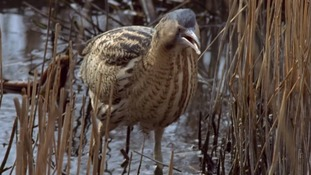 Back from the brink: Bittern numbers reach record high in East Anglia