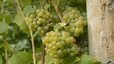 The vineyard says conditions have been perfect for these white Seyval grapes.