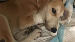 Lurcher pup saved by council worker