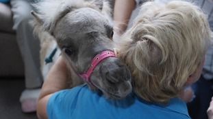 The ponies providing comfort to those with Alzheimer's disease