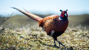Natural Resources Wales introduces pheasant shooting ban on public land