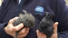 This pair of lionhead rabbits were dumped in West Didsbury