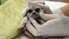 Mystery of missing meerkat found a long way from home