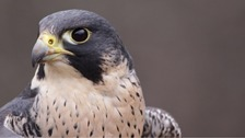 Calls for action after Birds of Prey illegally killed in East of England