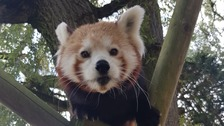 Baby red panda explores the outside world for first time
