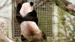 Male panda Yang Guang looks into the enclosure of female panda Tian Tian
