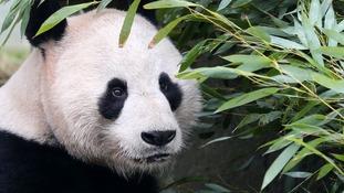 Male panda Yang Guang eats bamboo in a bid to bulk up ahead of breeding season