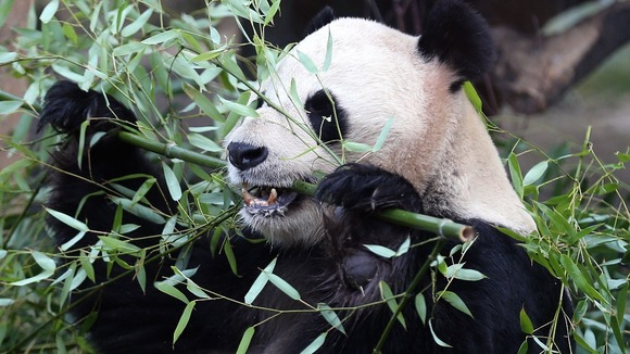Yang Guang eats bamboo in a bid to bulk up ahead of breeding season