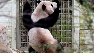Male panda Yang Guang looks into the enclosure of female panda Tian Tian