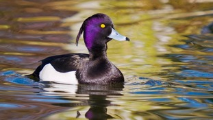 A Tufted duck