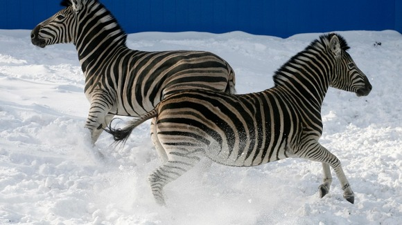 Zebras look like they are dancing in the Russian snow