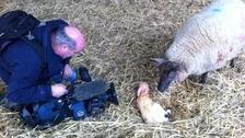 Lambing in Kent