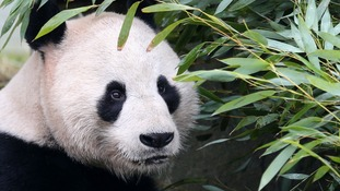 Edinburgh Zoo staff go to great lengths for new 'panda-cam'