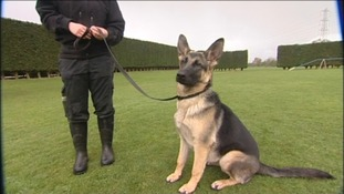 Shy police dogs need a home