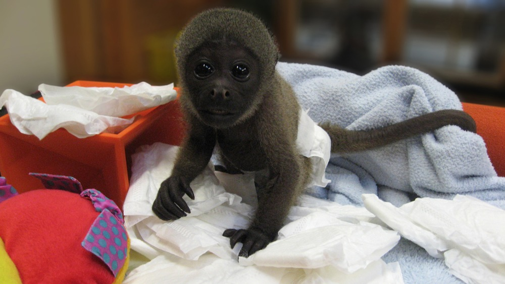 National Business Group On Health >> PICTURES: Baby monkey happy in nappies | Meridian - ITV News