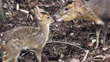 Muntjac among those targetted