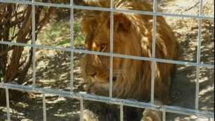 A lion at the park in Fresno, California, where the attack took place.