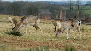 Fallow deer graze at Bradgate Park, Newtown Linford, Leicestershire