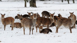 Deer stand in the snow at Studley Royal Park, Ripon, North Yorkshire