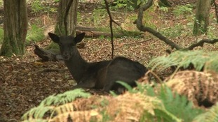 Do we need a mass cull of deer? Hear what the experts say