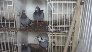 The captured birds were kept in cramped conditions