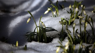 Snowfall on snowdrops
