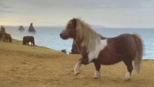 'Socks' the Shetland pony struts his stuff