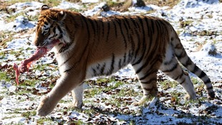 Bela the eleven year old Amur tiger eats her breakfast that was hanging from a chain.