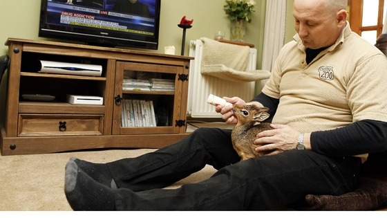 Curator of Mammals at Chester Zoo Tim Rowlands at home, hand-rearing a baby dik-dik which was abandoned by its mother.