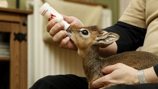 The youngster is bottle fed five times a day