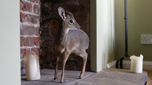 Fully grown dik-diks reach 30-40cm in height to the shoulder