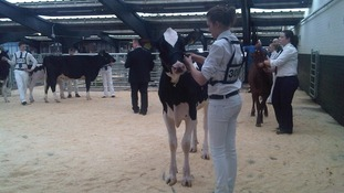 Dairy cattle on show