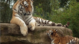 Adult tiger with tiger cub