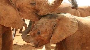 The WWF says 25,000 elephants were killed by poachers last year