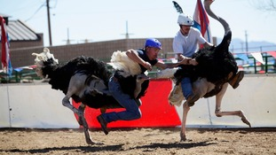 Competitor falls off during ostrich race at the annual Ostrich Festival in Chandler