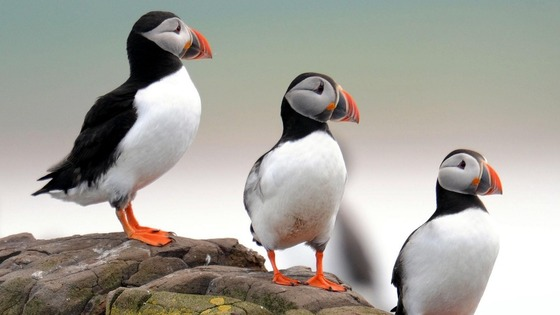 Puffins are among more than 20 bird species that breed on the Farne Islands