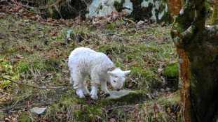 Lonely lamb grateful for his wooly coat