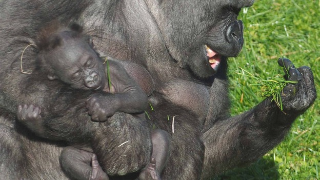 Plus. Ozala and her three month old boy Credit: Twycross Zoo. Gorilla.