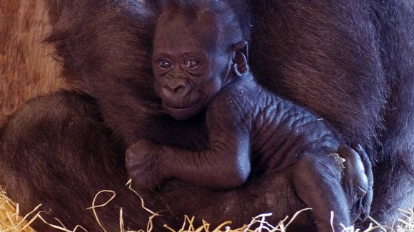 The three month old baby gorilla is an endangered species