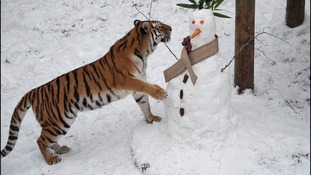 Two year old tigers demolish snowman