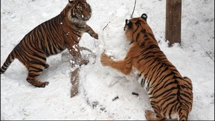Snow means fun for two-year-old tigers