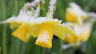 Daffodils in the snow in Earl Shilton, Leicestershire.