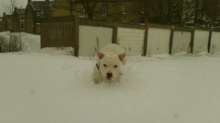 Staffordshire Bull Terrier Charlie playing in the snow in Lancashire.