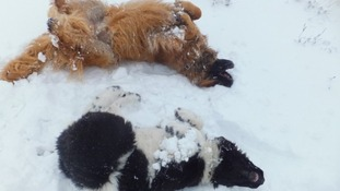 Bozley and Chester making their own snow angels at Gentleshaw Common in Staffordshire.
