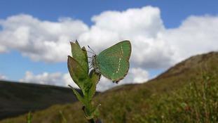 Green Hairstreak butterfly down 68%