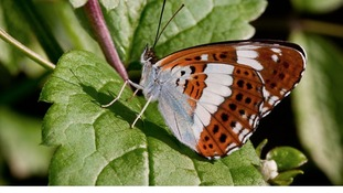 The White Admiral found in woodlands in Norfolk and Suffolk had its worst ever year with a 39% decline