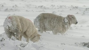 Sheep grazing in snow in County Antrim, Northern Ireland