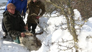 Farmer Gareth Wyn Jones (left), pulls out a pregnant sheep that was trapped beneath snow on his farm in Llanfairfechan, North Wales