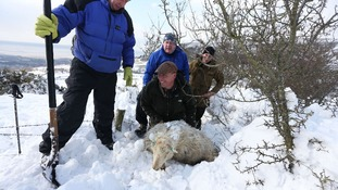Farmer Gareth Wyn Jones (centre), smiles as he pulls out a pregnant ewe