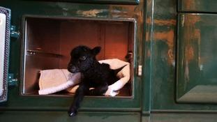 Micro Lamb keeping warm